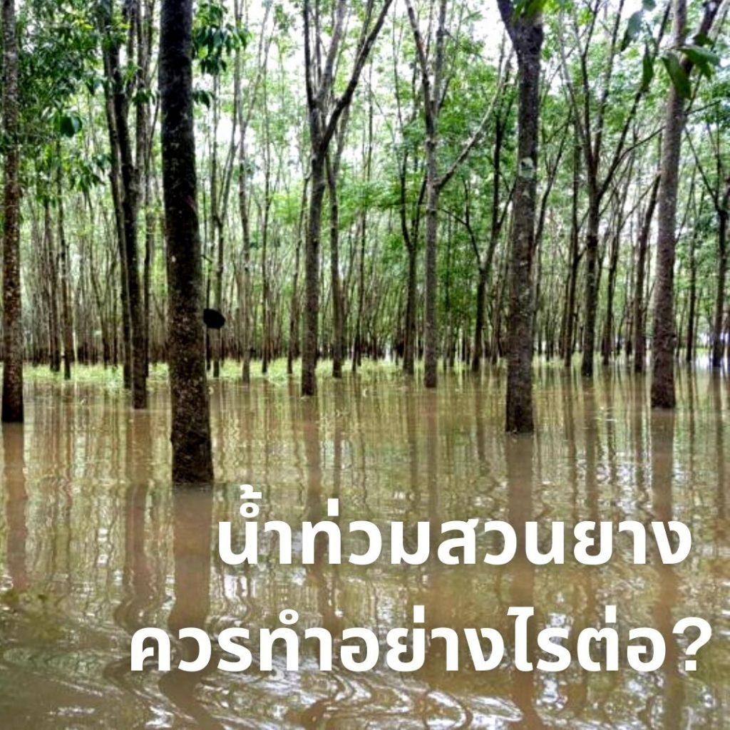 น้ำท่วมสวนยาง ควรทำอย่างไรต่อ